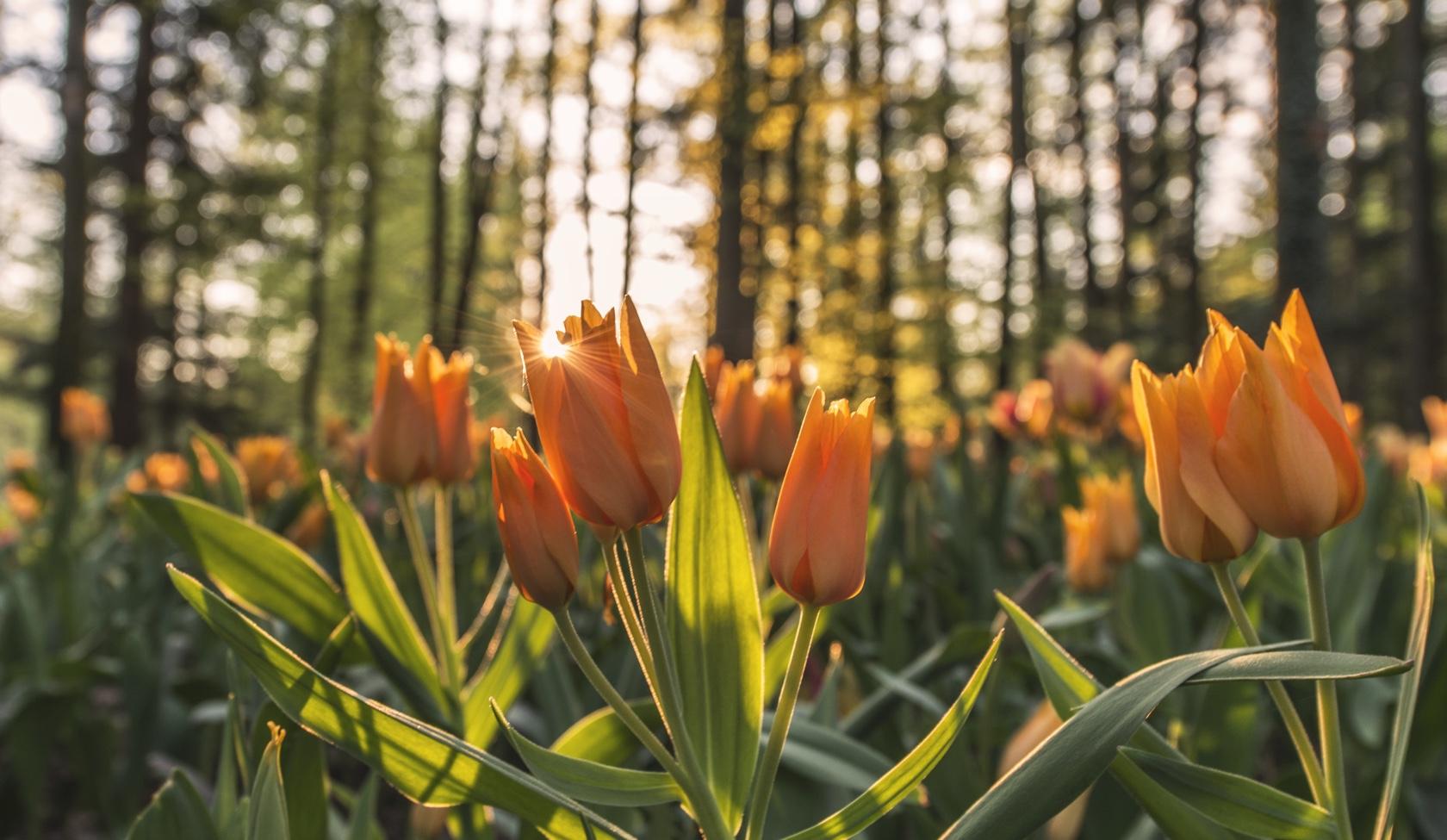 Sun & Tulips