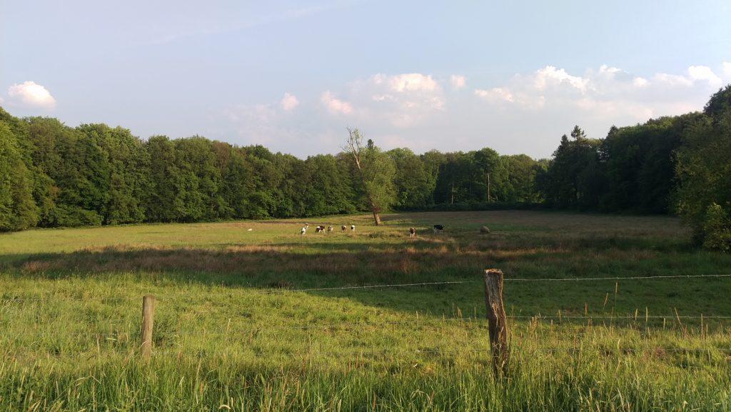 Zon over een weiland met in het midden een schuine boom en een paar koeien.